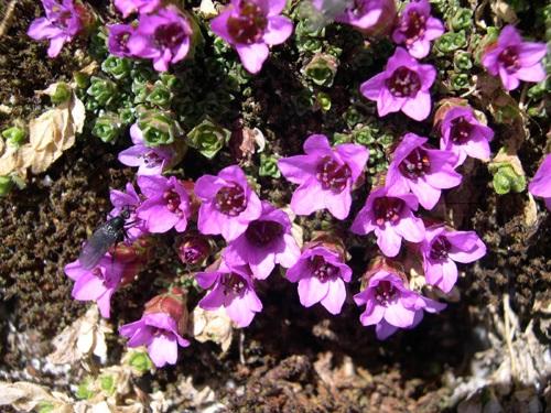 Purple Saxifrage / Saxifraga oppositifolia