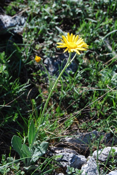 Gérards Greiskraut / Senecio doronicum ssp. gerardii