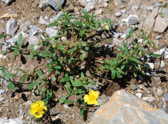 Grossblütiges Sonnenröschen / Helianthmum nummularium ssp. grandiflorum