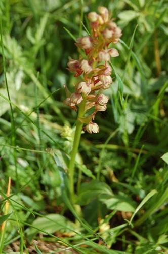 Grüne Hohlzunge / Coeloglossum viride