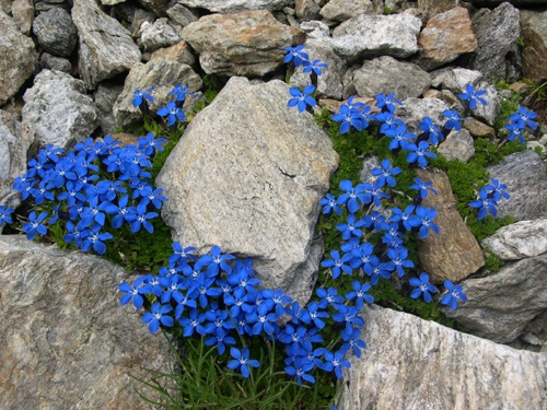 Kurzstieliger Bayerischer Enzian / Gentiana bavarica ssp. subacaulis