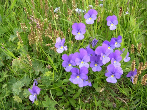 Viola con sperone / Viola calcerata