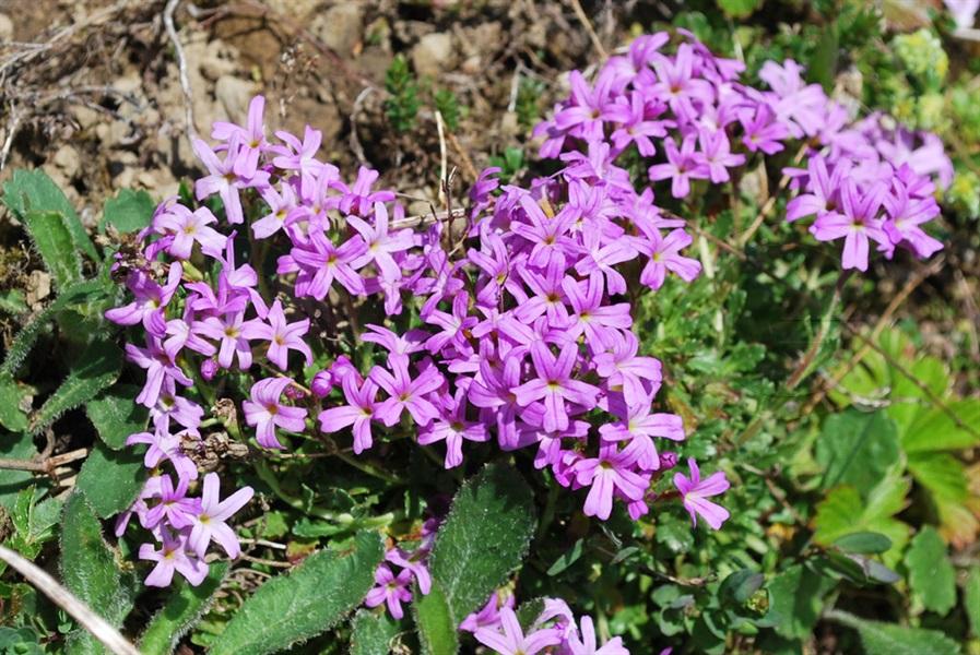 Leberbalsam / Erinus alpinus