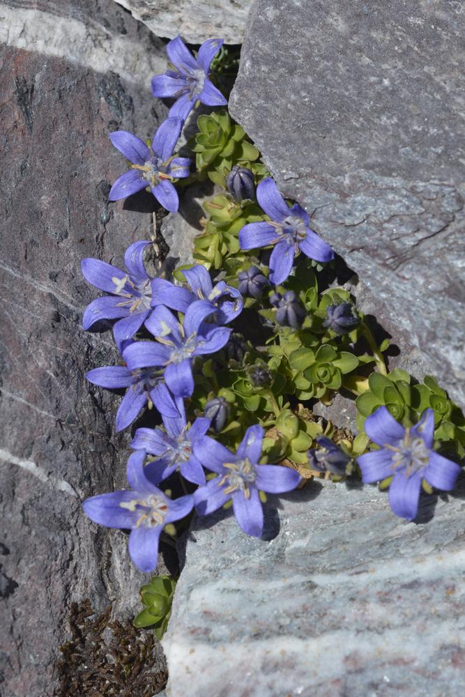 Mont Cenis-Glockenblume   / Campanula cenisia