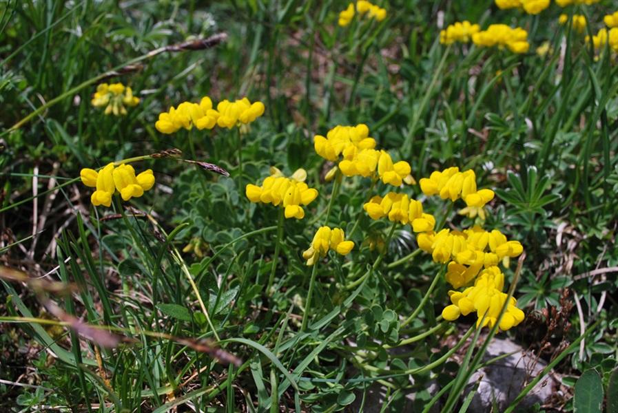 Niederliegender Geissklee / Cytisus decumbens