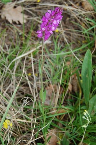 Nizza-Kreuzblume / Polygala nicaeensis ssp. mediterrana