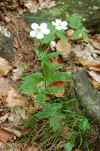 Renoncule à feuilles de platane / Ranunculus platanifolius