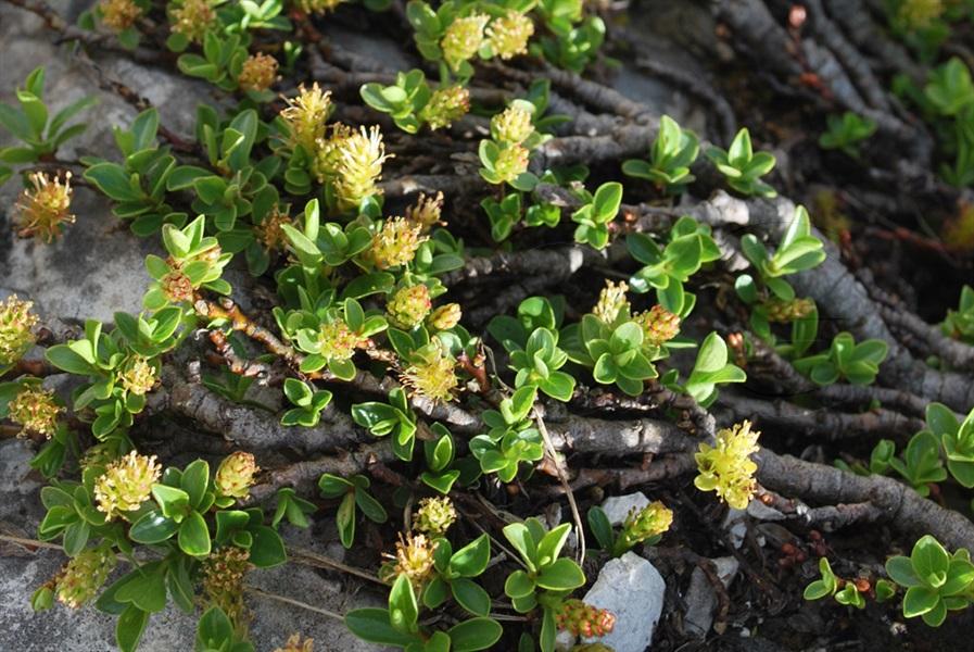 Quendelblättrige Weide / Salix serpyllifolia