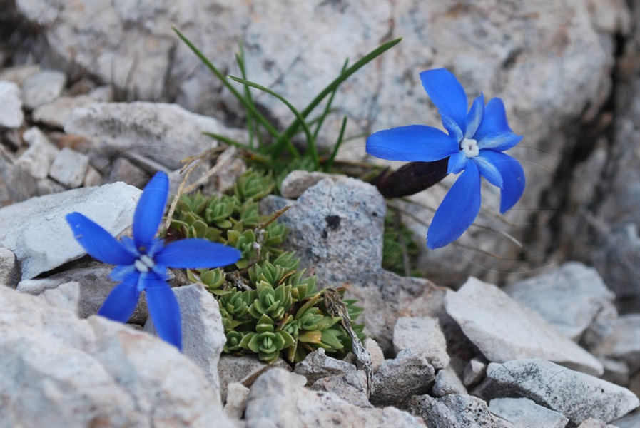 Rundblättriger Enzian / Gentiana orbicularis