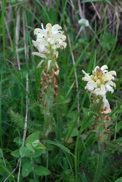 Schopfiges Läusekraut / Pedicularis comosa
