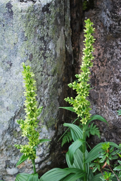 Grünlicher Germer / Veratrum album ssp.lobelianum