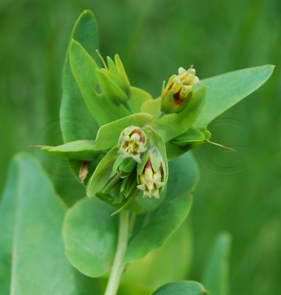 Kahle Wachsblume, Alpen-Wachsblume / Cerinthe glabra