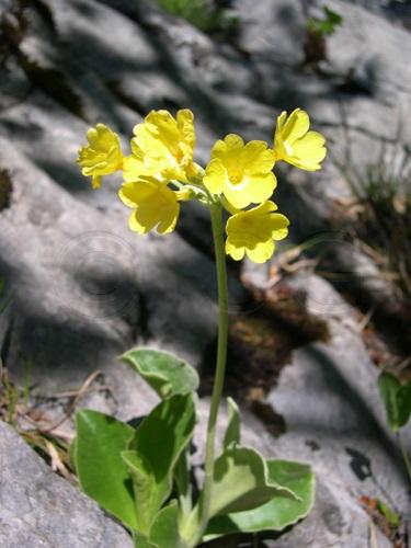 Primevère auricule / Primula auricula
