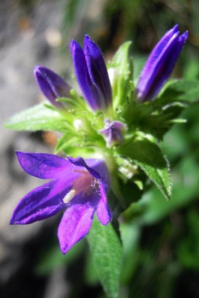 Bologneser Glockenblume / Campanula bononiensis