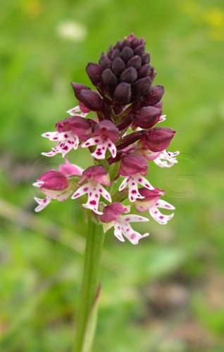 Schwärzliches Knabenkraut / Orchis ustulata