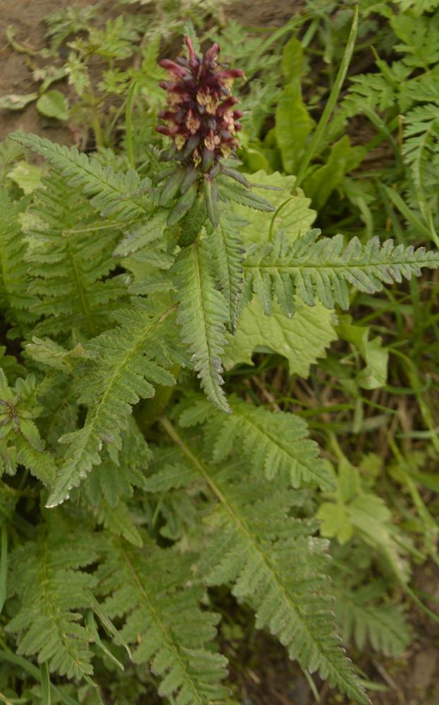 Gestutztes Läusekraut / Pedicularis recutita