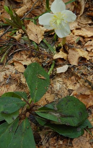 Rose de noël / Helleborus niger
