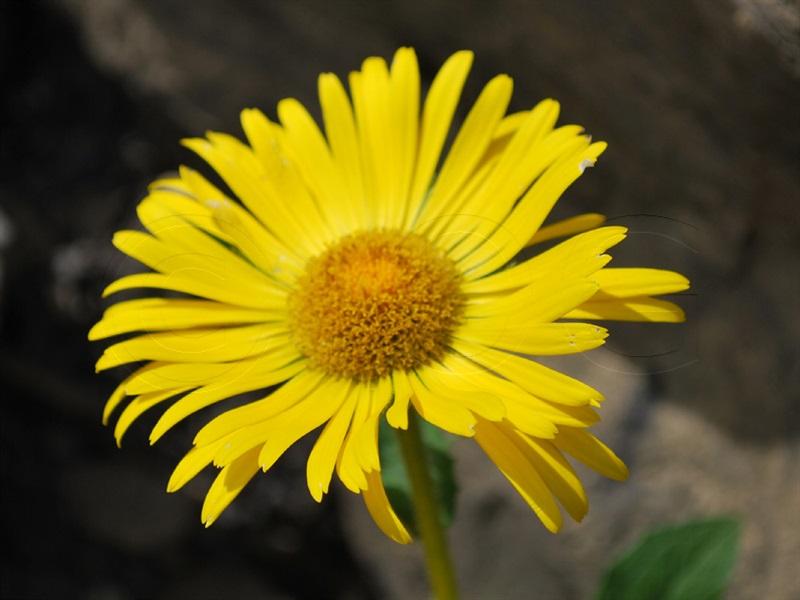 Doronic à grandes fleurs / Doronicum grandiflorum