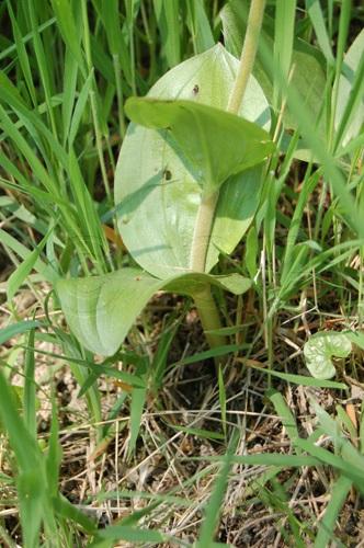 Listère ovale / Listera ovata