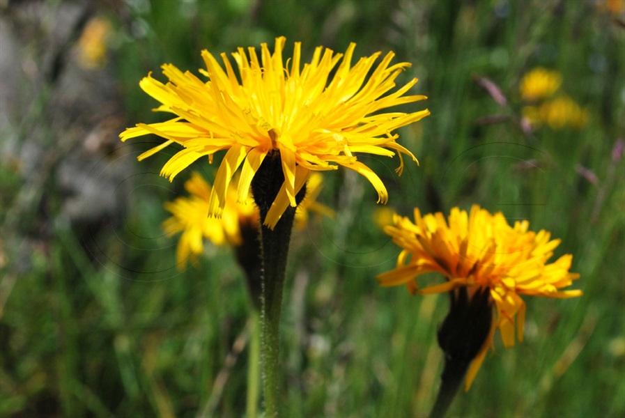 Raues Schutt-Milchkraut / Leontodon hispidus ssp. pseudocrispus