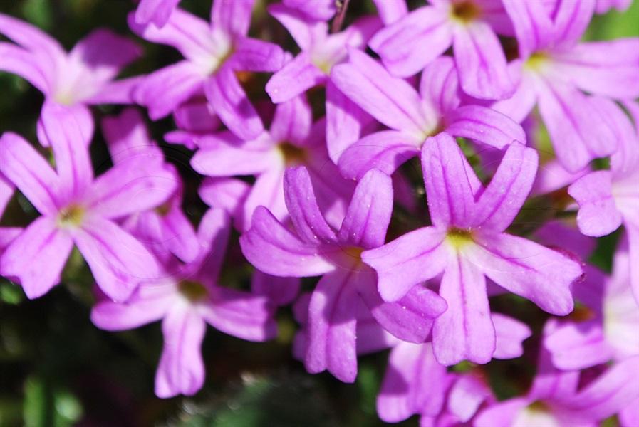 Fairy Foxglove / Erinus alpinus