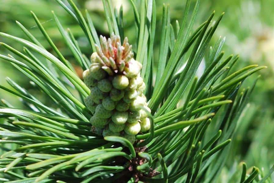 Dwarf Mountain-pine / Pinus muge ssp. mugo